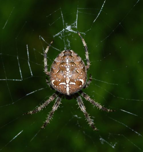 Animal Brown Cobweb Crusader Spider Eight Legs Nature One Animal Spider