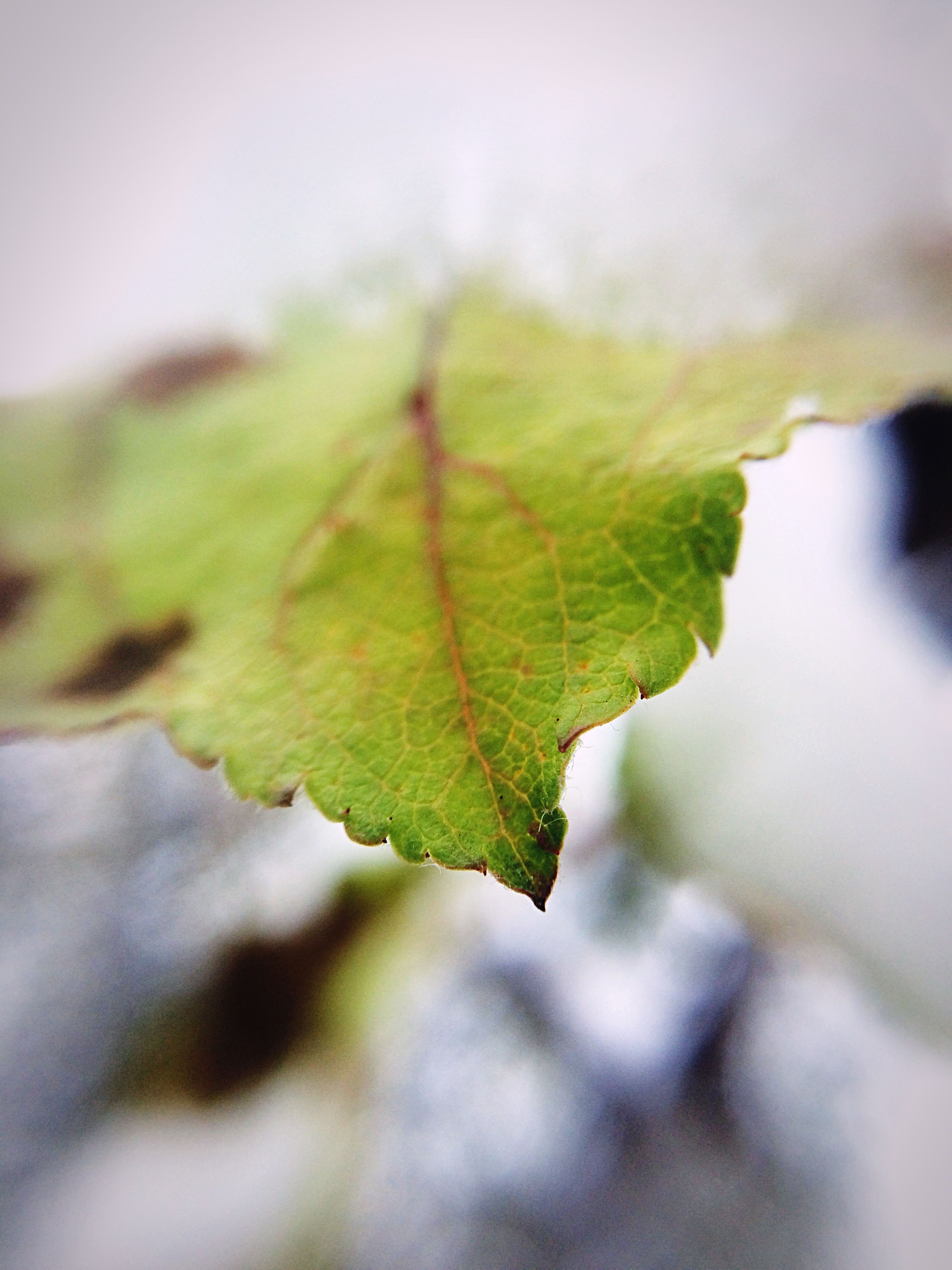 leaf, close-up, nature, leaf vein, outdoors, growth, green color, tree, no people, change, beauty in nature, autumn, day, tranquility, freshness, maple, fragility, maple leaf, sky