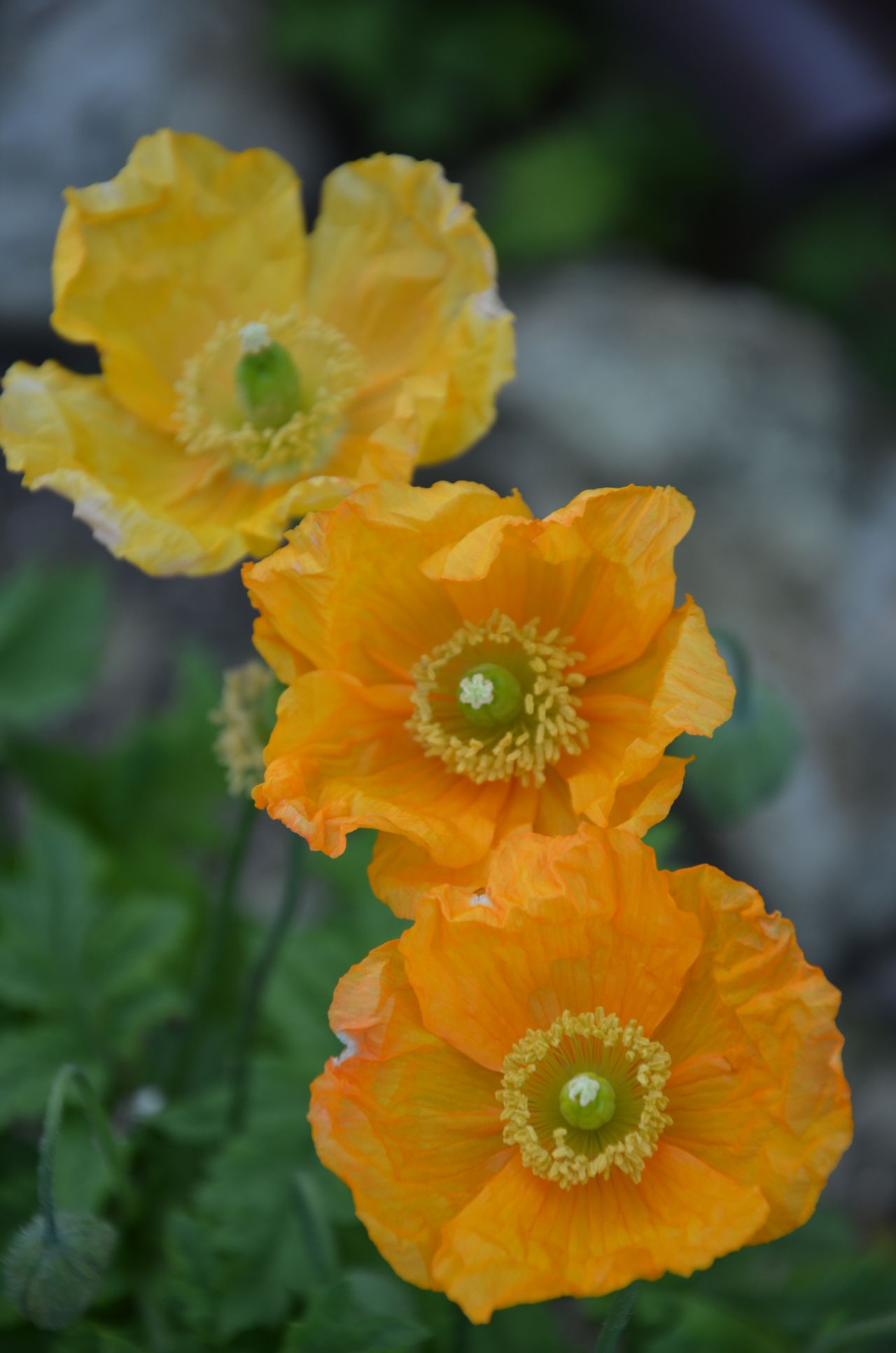 Close-up Flowers Flowers, Nature And Beauty Flowers,Plants & Garden Poppy Poppy Flower Poppy Flowers Yellow Flower