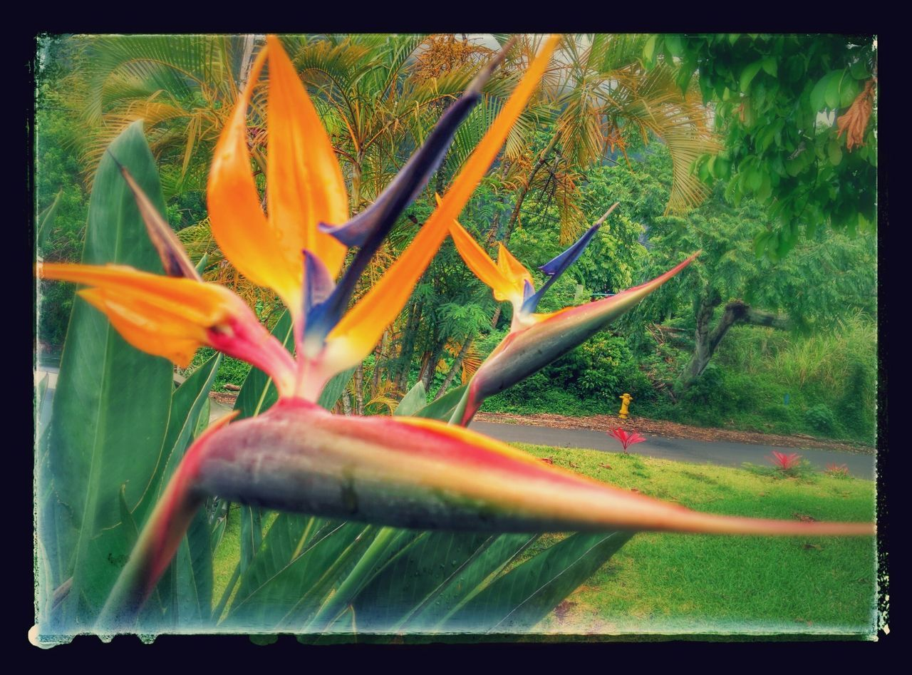 Birds of Paradise EyeEm Nature Lover Taking Photos Garden Photography 🌷 Flowers 🌹 Birdofparadise Flower in kuu's drive way