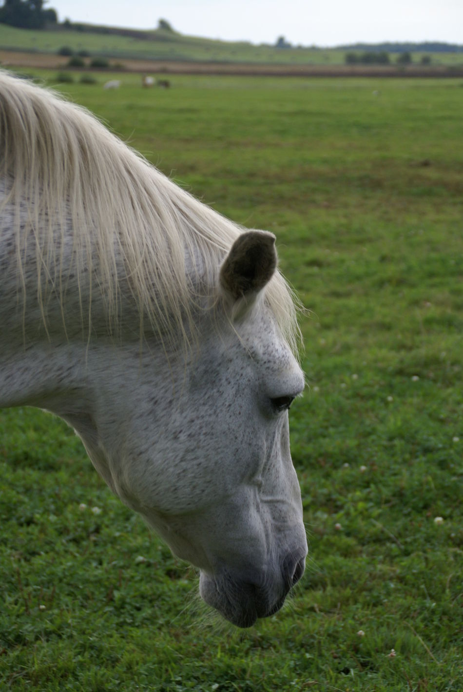 Field Grass Animal Themes Mammal Nature Outdoors No People One Animal Day Domestic Animals Country Living Country Life Countryside Farm Event Motion Horses Sky Horse White Horse Farm Life Farming Close-up Landscape Grass