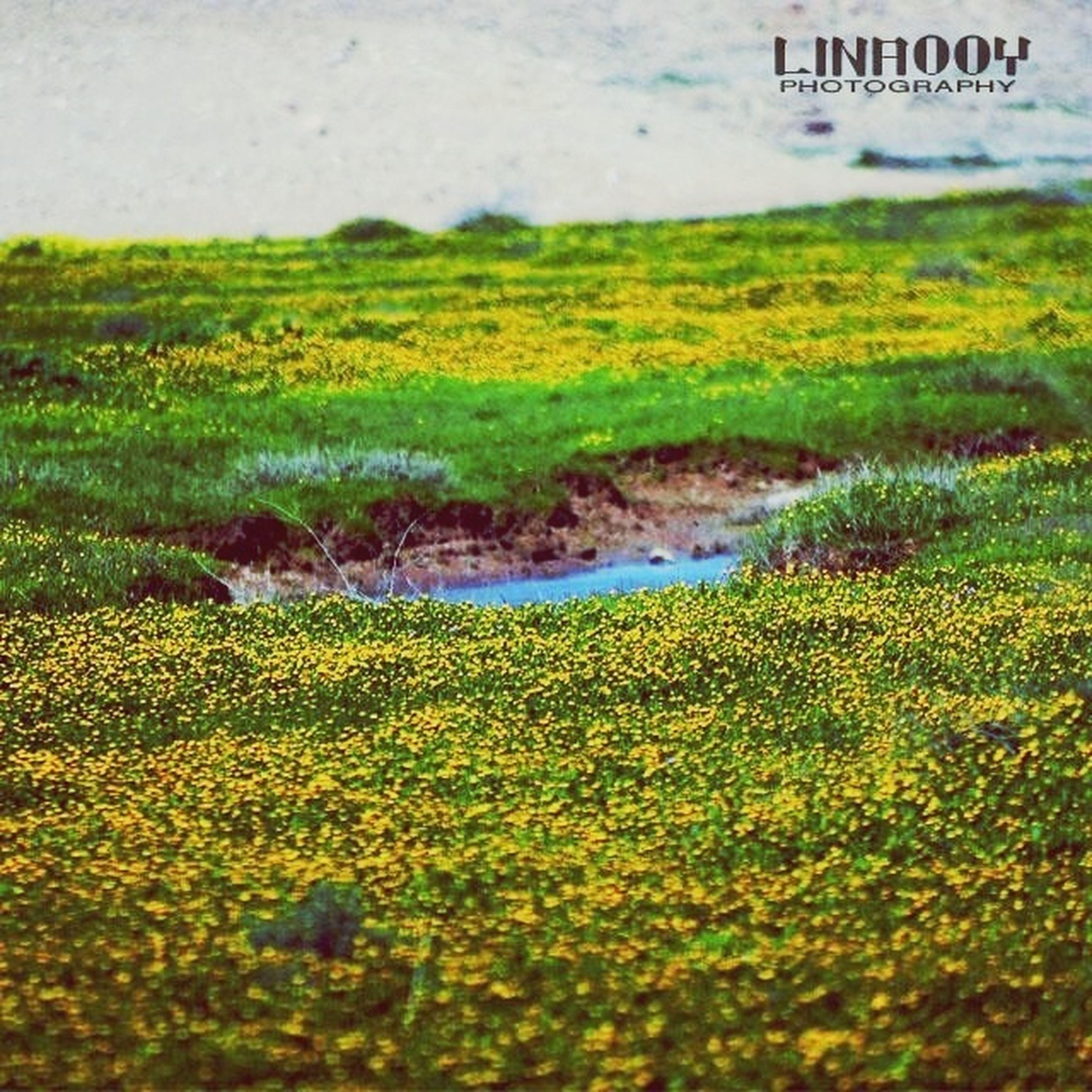 yellow, nature, growth, plant, water, field, grass, beauty in nature, green color, tranquility, day, outdoors, tranquil scene, freshness, no people, flower, high angle view, scenics, landscape, season