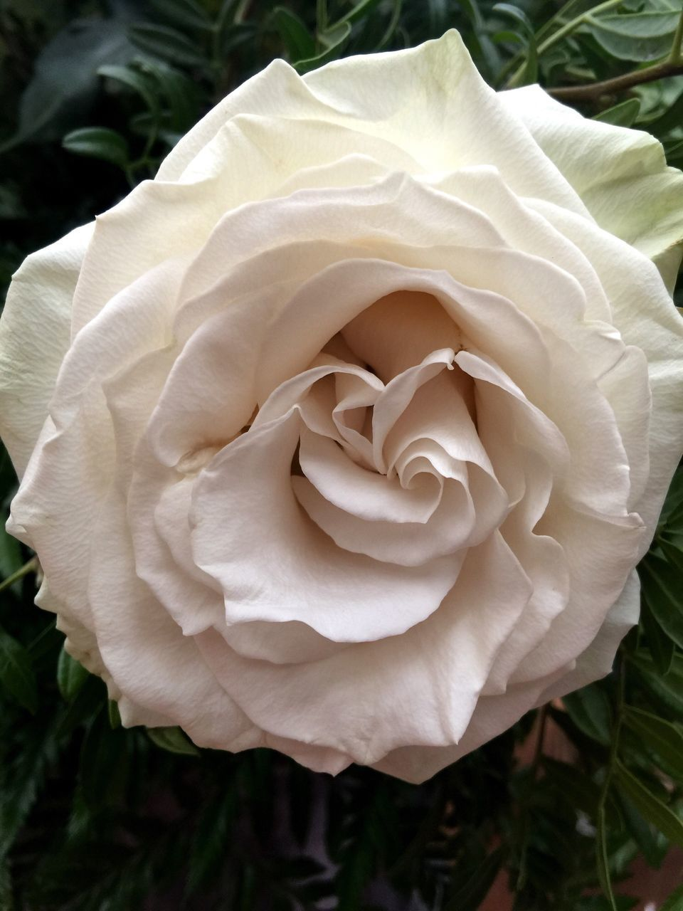 flower, petal, growth, nature, flower head, rose - flower, plant, beauty in nature, fragility, close-up, no people, freshness, outdoors, blooming, day