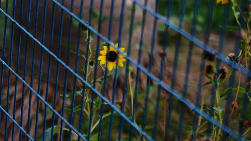 Flower Yellow Day Outdoors Fragility Nature No People Close-up Freshness Summertime Summerblooms Wildflower Yellowflower Live For The Story