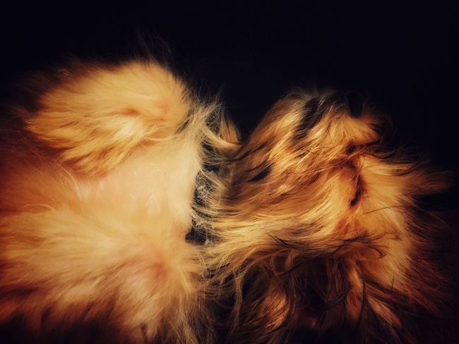 Domestic Animals Pets Dog Animal Themes Mammal One Animal Close-up Indoors  Animal Head  Animal Hair Black Background Studio Shot Brown Fluffy Zoology Puppy Puppy Face Sleep Sleeping Sleeping Dog Chewbacca