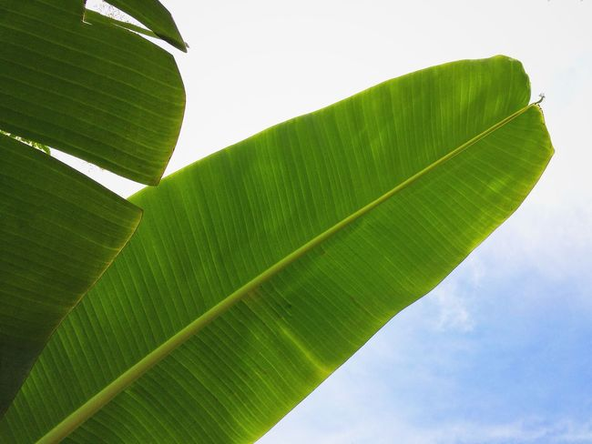 Banana Leaves Lookingup Minimalism Minimal IPhoneography VSCO Vscocam Simplicity