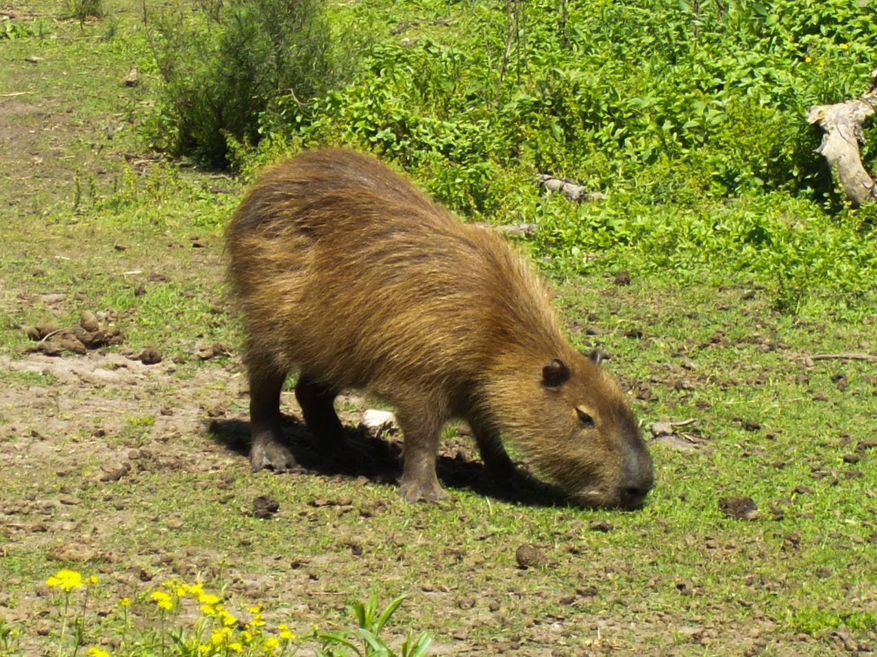 Capybara On Grassy Field
