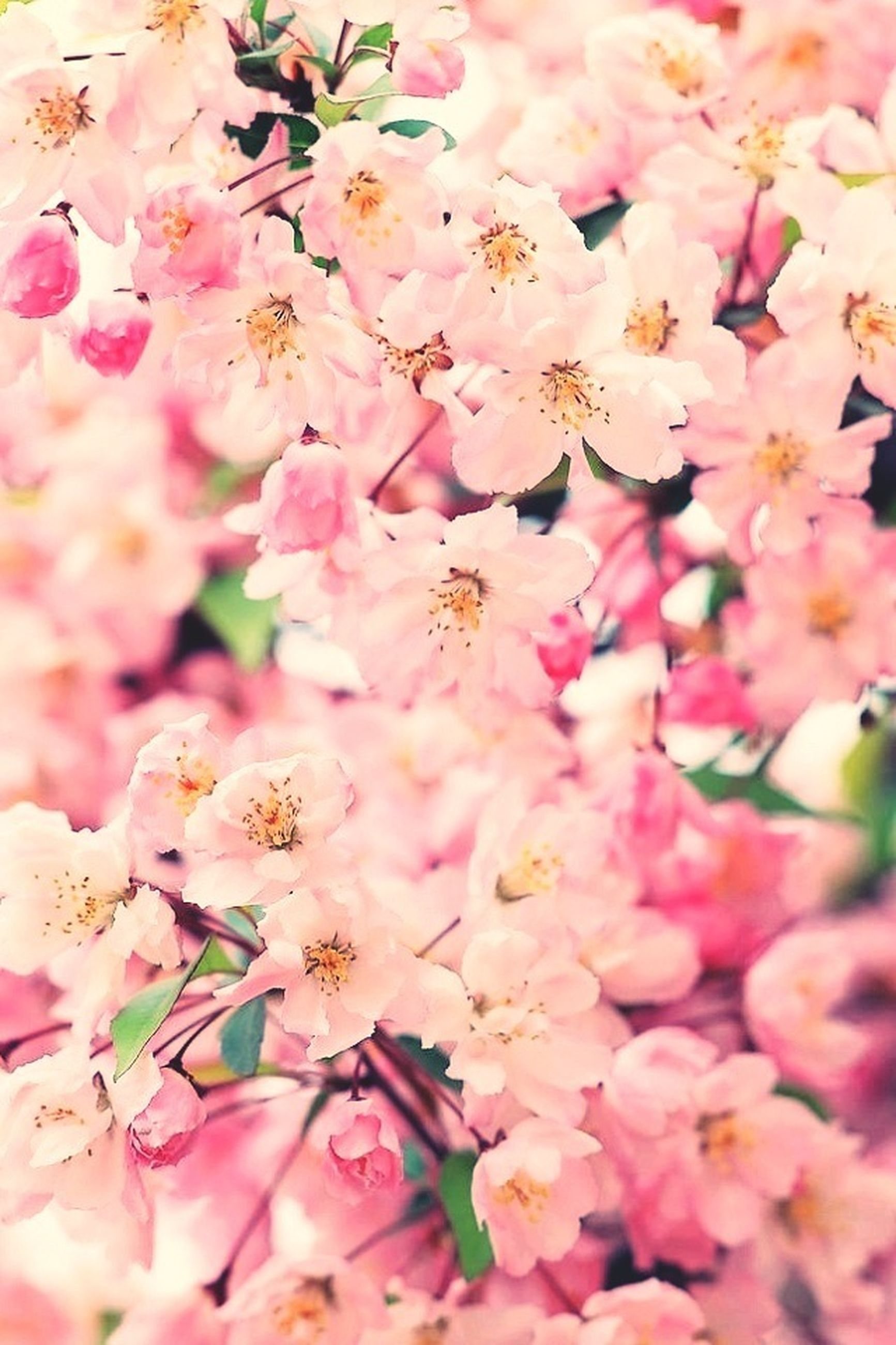 flower, freshness, fragility, growth, beauty in nature, petal, nature, pink color, blossom, close-up, flower head, in bloom, blooming, full frame, backgrounds, cherry blossom, branch, stamen, springtime, selective focus