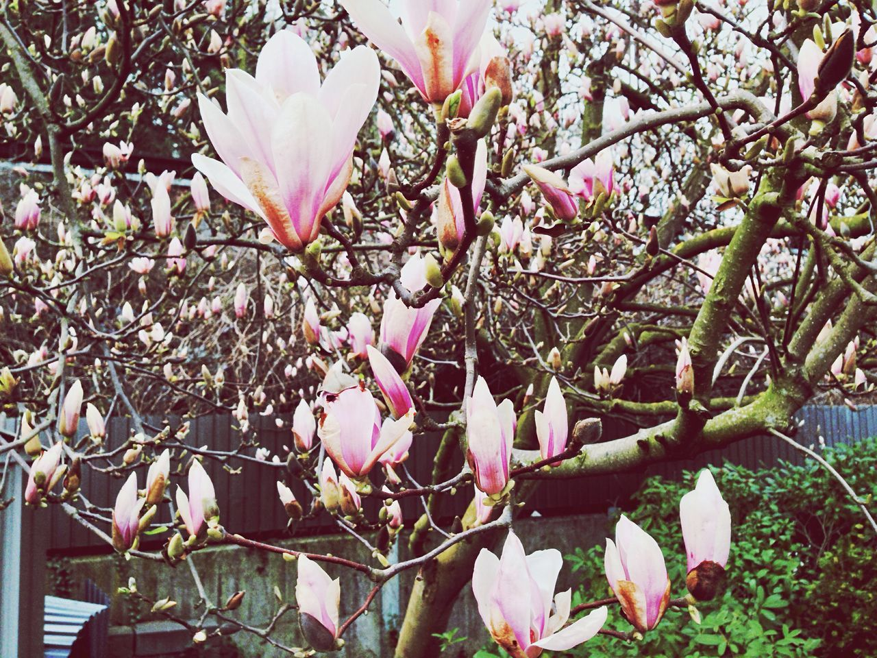 flower, pink color, fragility, blossom, beauty in nature, tree, growth, branch, freshness, springtime, nature, magnolia, petal, botany, no people, day, orchard, outdoors, twig, flower head, blooming, close-up, plum blossom, plant