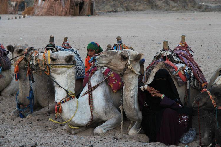 Africa Animal Animal Themes Arab Arabian Arabic Arabs Bedouins Camel Child Children Desert Egypt Egyptian Egyptology Entertainment Hurghada Mountain Sand Side View South Strange Tourists Woman Working Animal