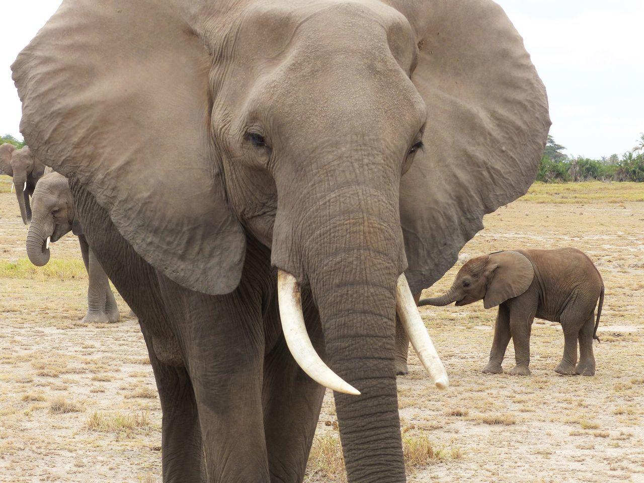 African Elephant Animal Themes Animal Wildlife Animals In The Wild Elephant Landscape Mammal Nature Outdoors Safari Animals Tusk