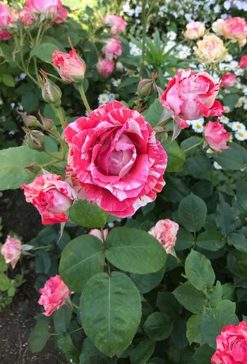 Flower Rose - Flower Growth Petal Fragility Nature Flower Head Beauty In Nature Freshness Red No People Outdoors Day Blooming