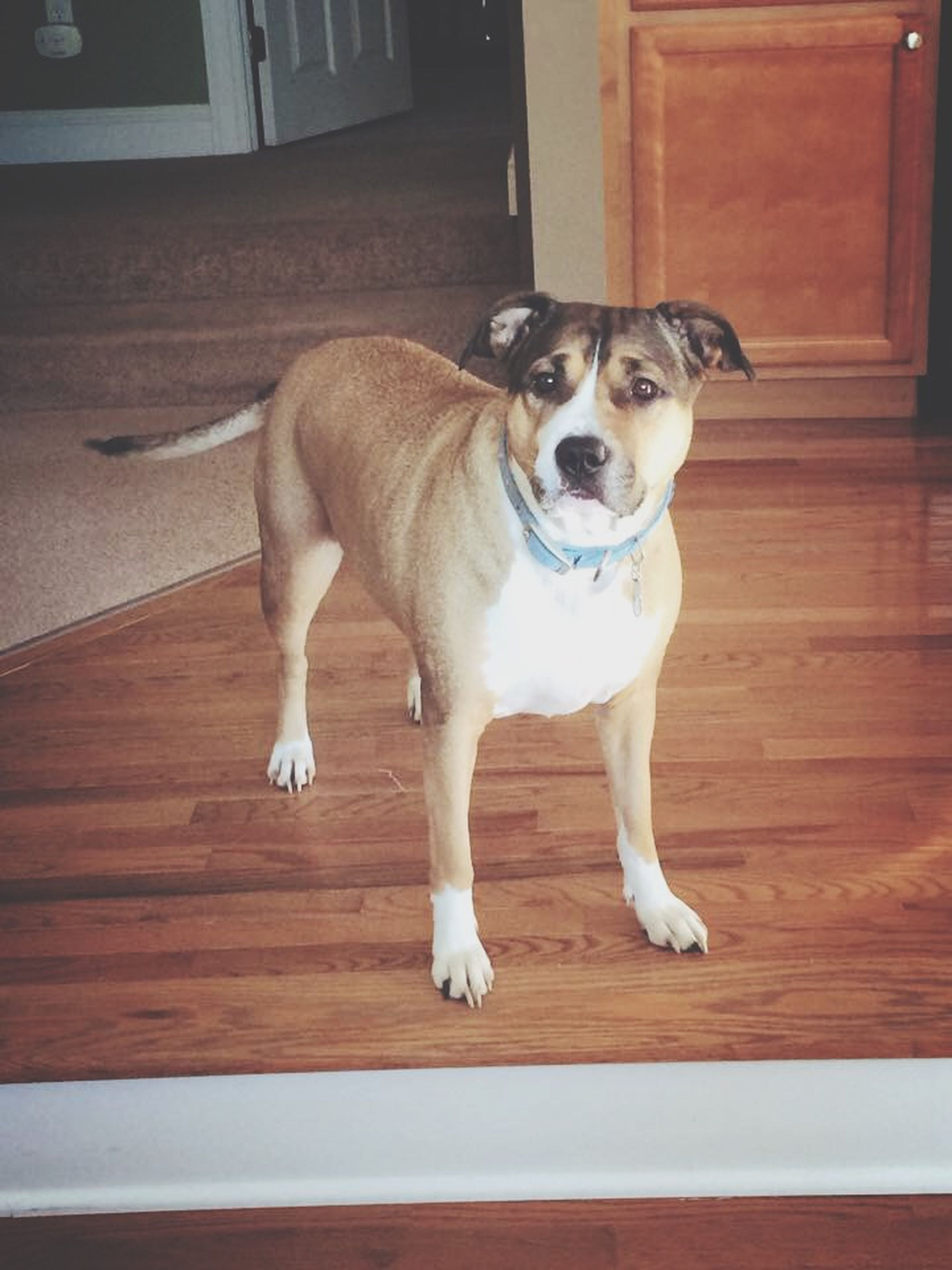 pets, dog, domestic animals, animal themes, one animal, mammal, portrait, looking at camera, indoors, full length, standing, pet collar, no people, sitting, front view, loyalty, flooring, zoology, vertebrate