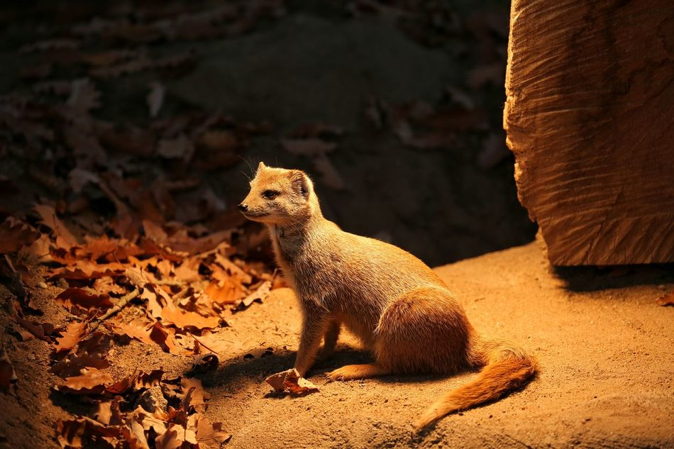 Yellow Mongoose.. One Animal Animal Themes Nature No People Close-up Outdoors Spot Light  Canon 5d Mark Lll Canon Photography Tranquility Bavaria Bayern Fall Autumn Colors Autumn Yellow Mongoose