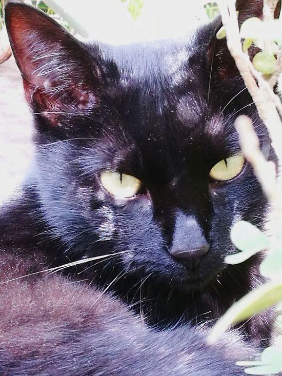 Gatto Cat Gatto Nero Domestic Animals Occhi Di Gatto