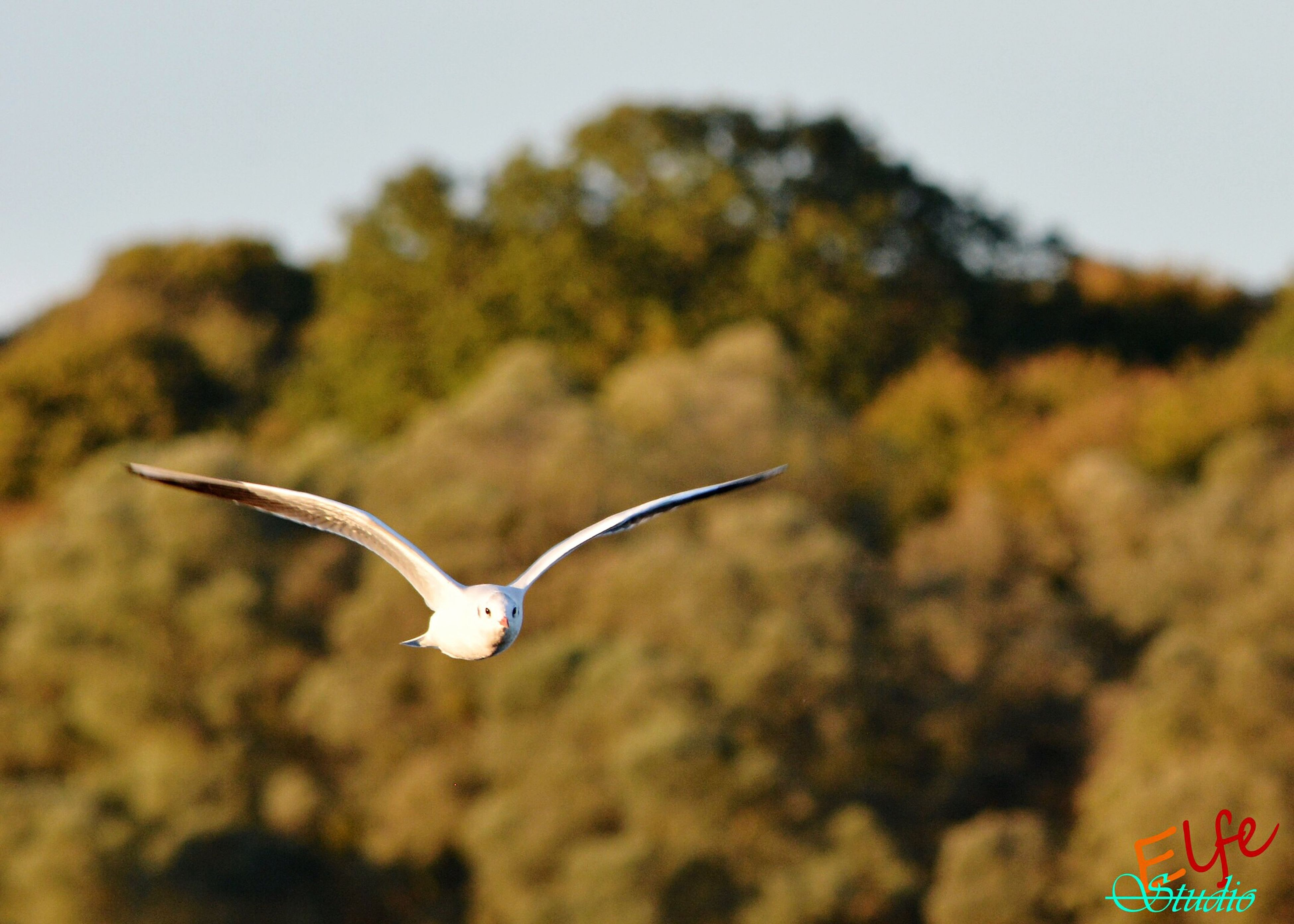 flying, mid-air, animal themes, animals in the wild, one animal, spread wings, wildlife, bird, focus on foreground, motion, selective focus, on the move, full length, seagull, animal wing, insect, nature, day, outdoors, close-up