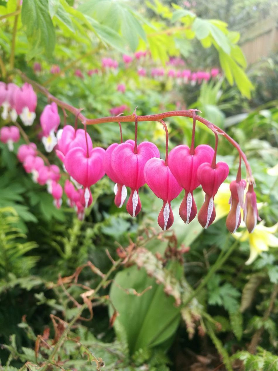 Pink Color Plant Flower Nature Beauty In Nature Outdoors Growth No People Focus On Foreground Day Close-up Freshness Flower Head Fragility Bleeding Heart  Delicate