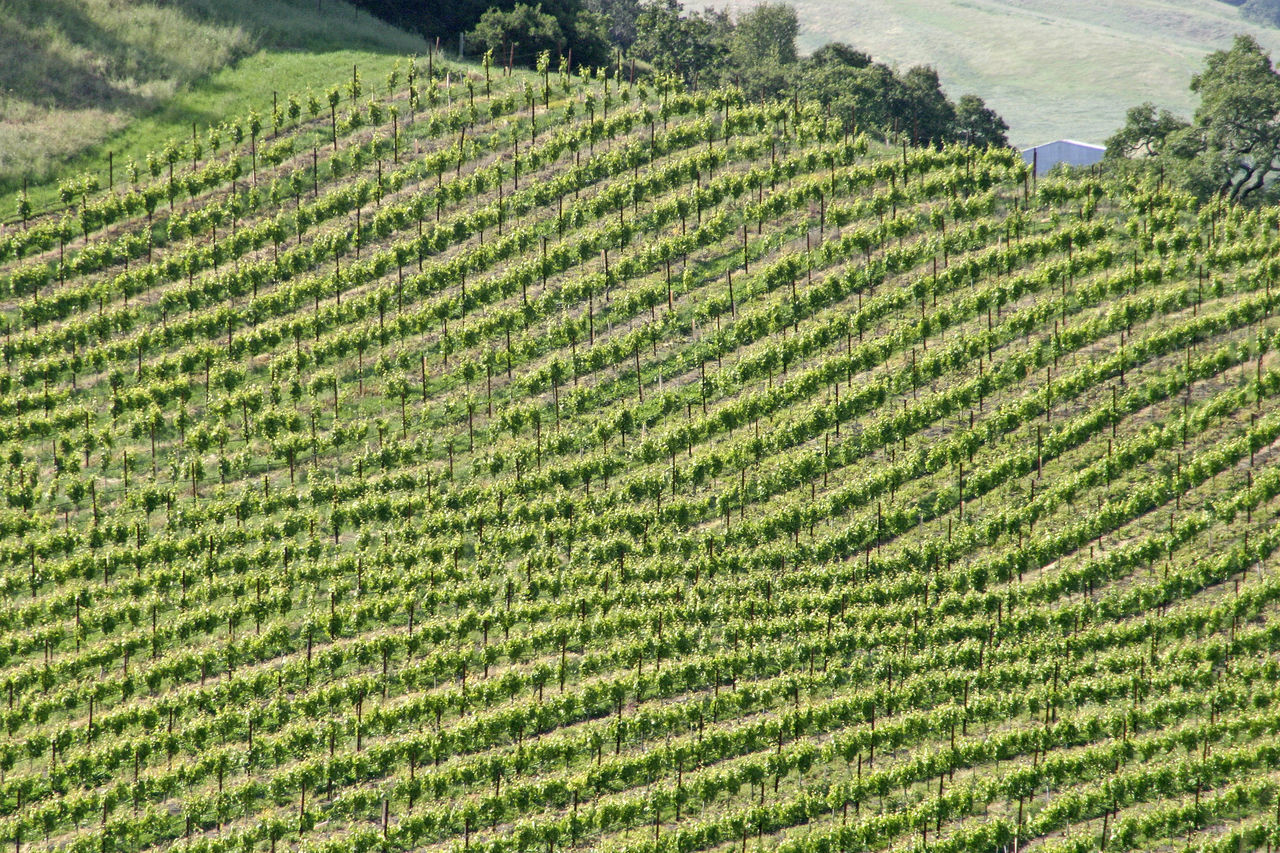 Nappa Valley grape vines California Wine Country Nappa Valley Vineyard Agriculture Beauty Beauty In Nature Crop  Cultivated Land Day Farm Field Green Color Growth Hill Land Landscape Nature No People Outdoors Plant Rural Scene Scenics Sky Tea Crop Terraced Field Tranquility Tree