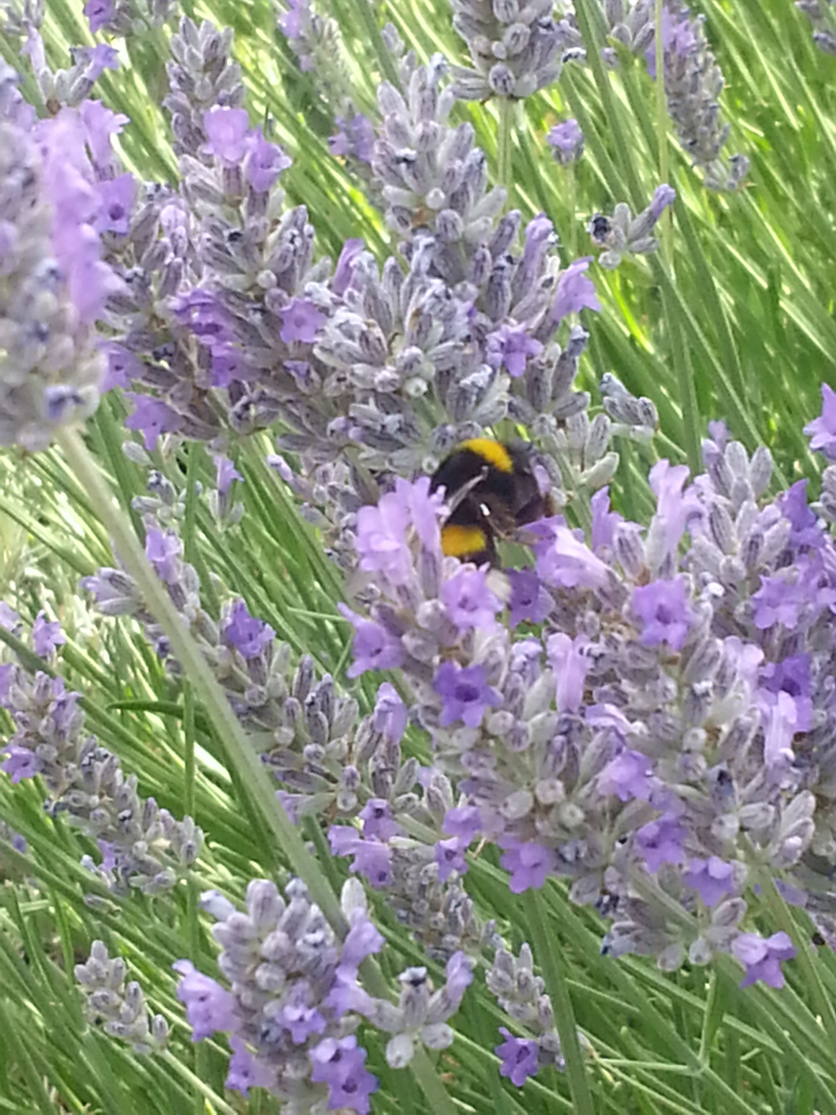 insect, flower, animal themes, animals in the wild, one animal, wildlife, freshness, pollination, fragility, bee, growth, petal, beauty in nature, purple, symbiotic relationship, nature, plant, honey bee, flower head, close-up