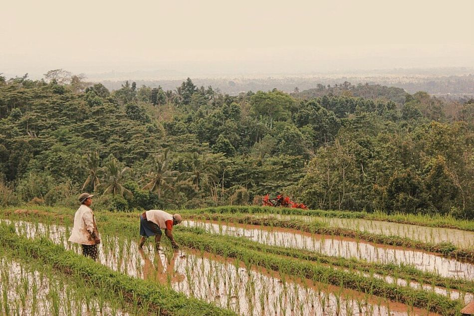 Rice farmers in Bali Tranquil Scene Photography Rice Field Landscape_photography Visualsoflife Beauty In Nature Exploretocreate Vscocam Wanderlust Travel Photography Eyeemphoto Two Is Better Than One Exploreindonesia Bali, Indonesia UNESCO World Heritage Site Non-urban Scene Beautiful Nature Landscape Wonderful Indonesia Lonelyplanet Landscape_Collection Color Palette Travel Destinations Travelphotography