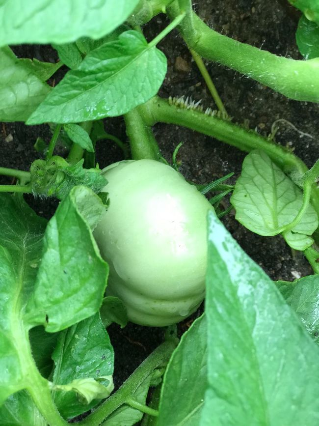 German green tomatoes Farming Farm Life Green Tomatoes German Green Tomato Gardening Garden Organic Chemical Free