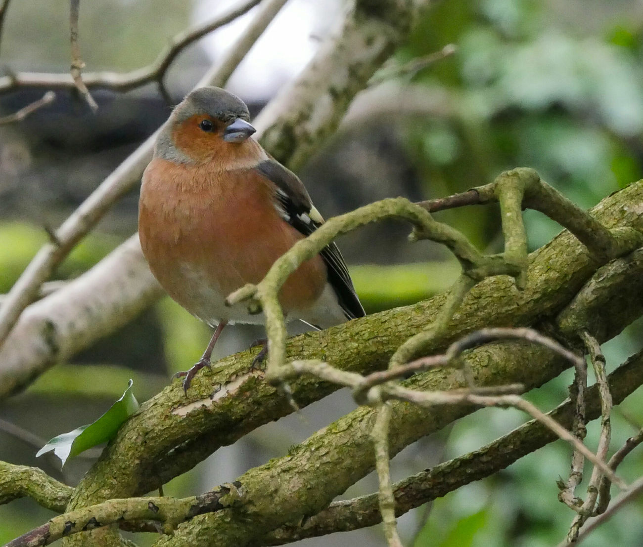 Beauty In Nature Wildlife Photography Wild Bird Nature Chaffinch Trees