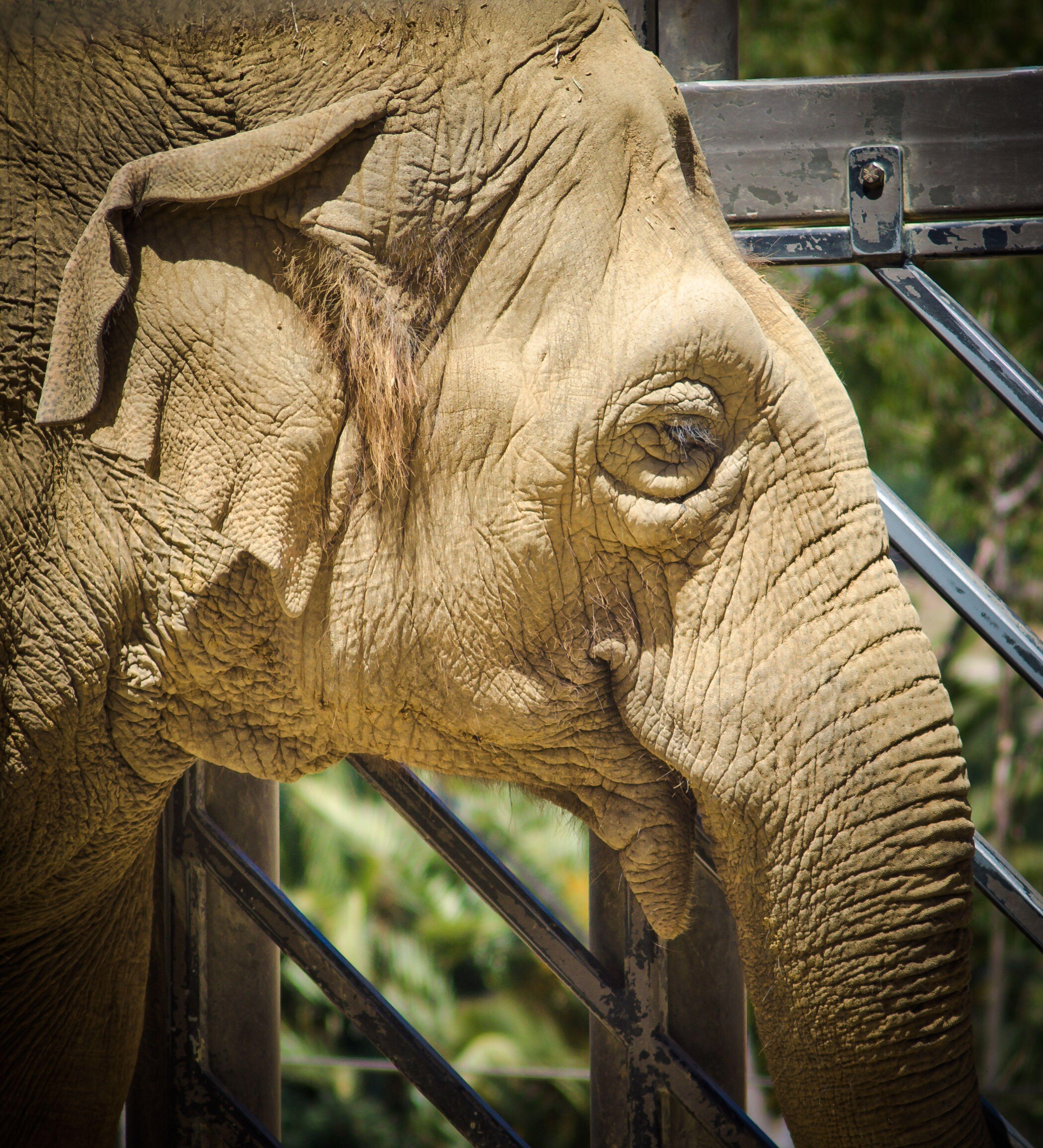 one animal, mammal, animal themes, no people, animals in the wild, elephant, day, outdoors, animal wildlife, close-up, safari animals, nature, animal trunk