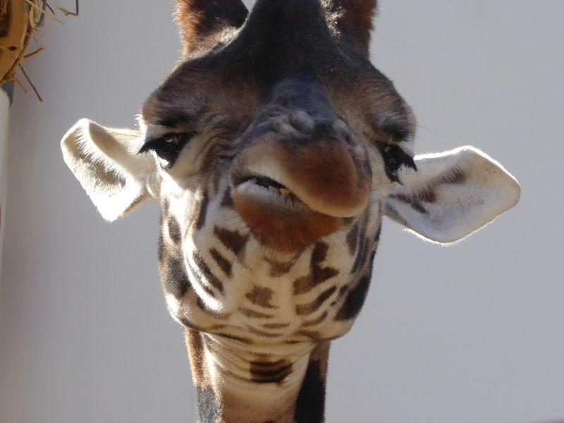 Giraffe Zoo Antwerpen Looking At Camera Animal Themes Close-up Giraf One Animal