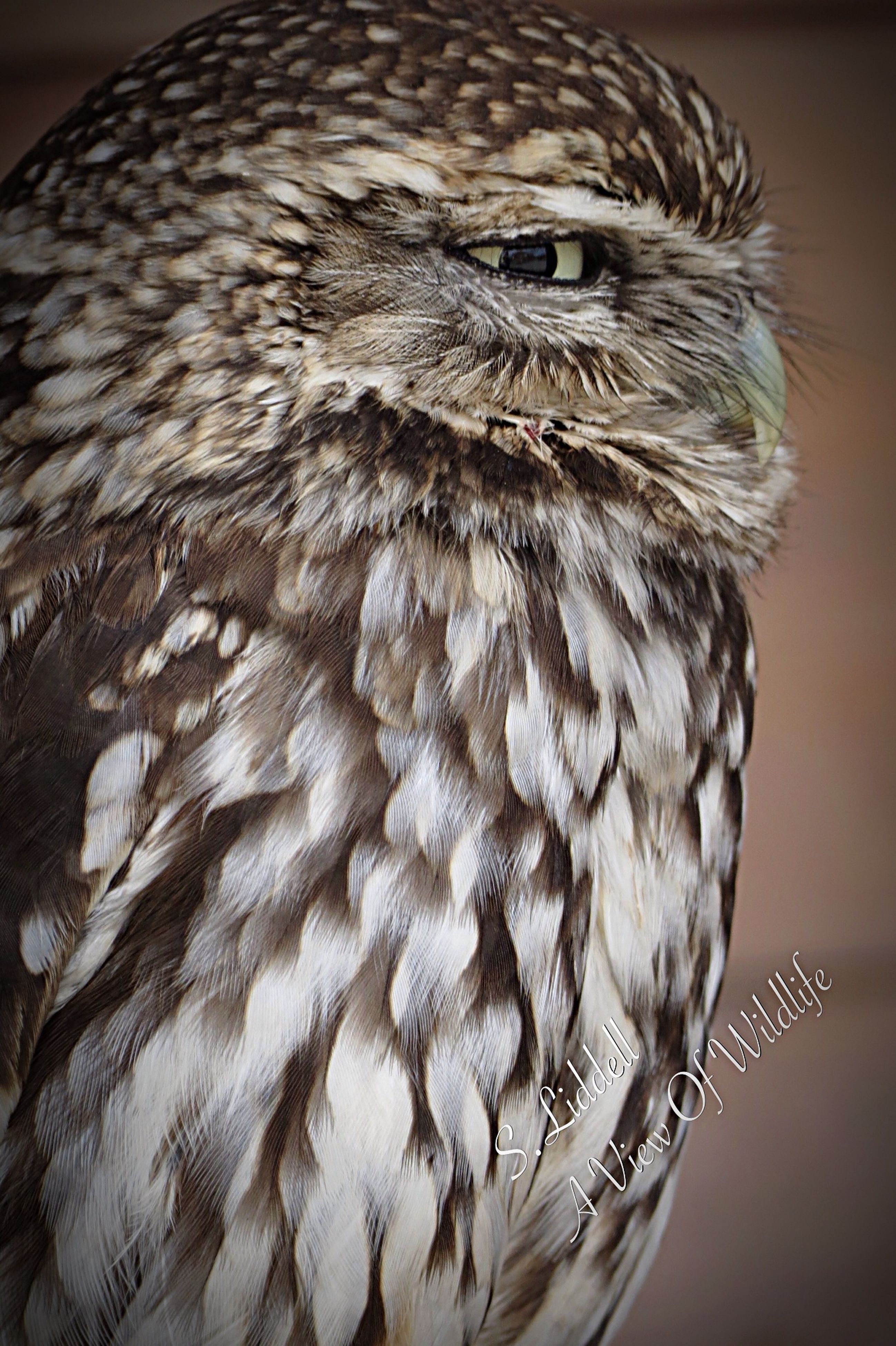 bird, animal themes, one animal, close-up, animals in the wild, wildlife, feather, focus on foreground, bird of prey, studio shot, beak, owl, animal head, indoors, no people, animal body part, front view, day, nature, perching
