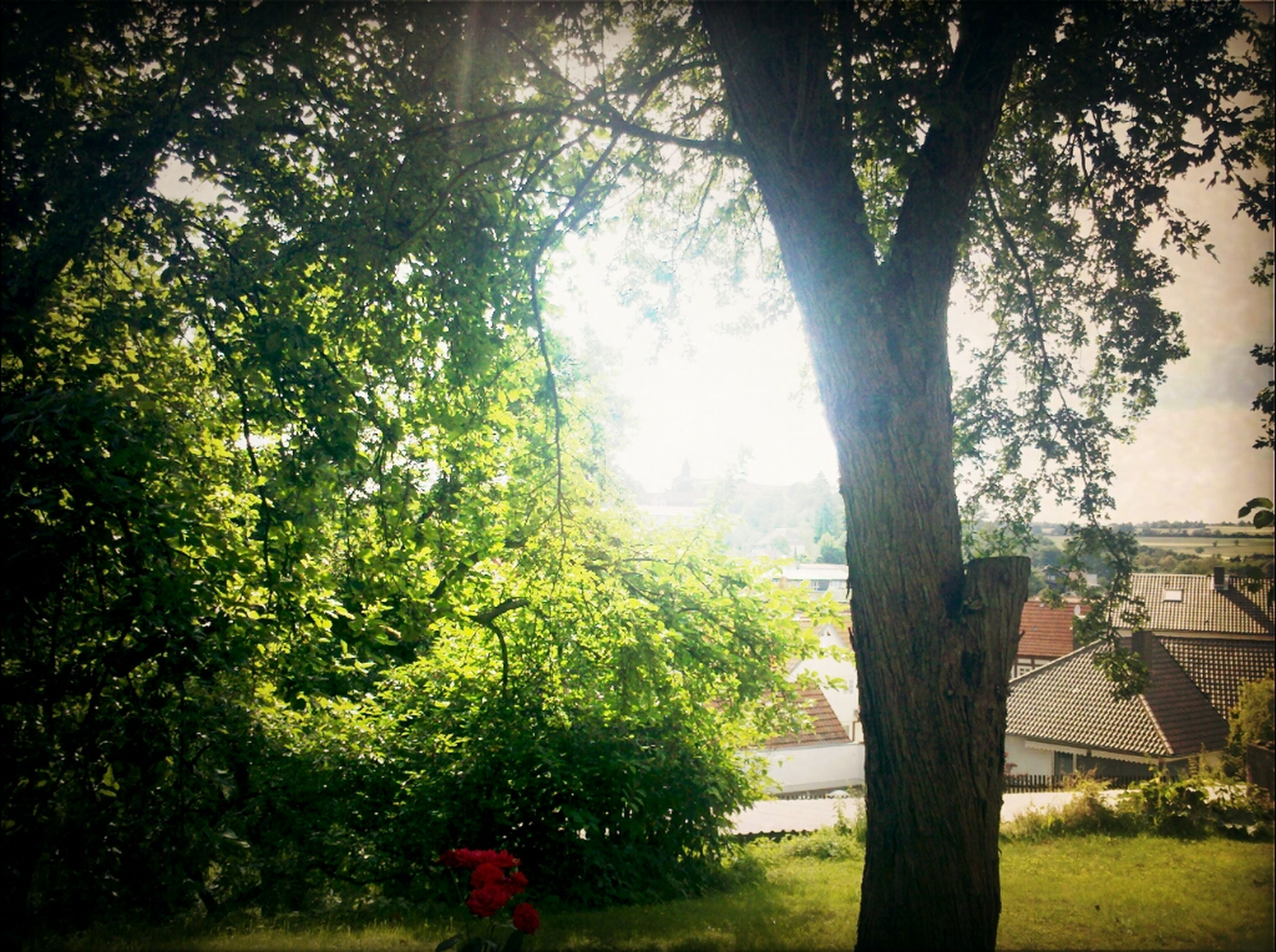 tree, grass, growth, branch, tree trunk, green color, park - man made space, nature, tranquility, sunlight, grassy, bench, beauty in nature, park, day, lawn, tranquil scene, field, outdoors, sky