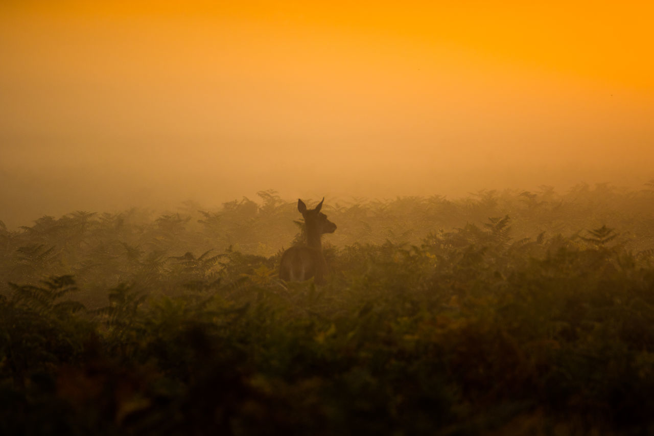 Back Lit Beauty In Nature Deer Dusk Field Fog Foggy Growth Hill Nature No People Non-urban Scene Orange Color Outdoors Plant Scenics Selective Focus Sky Sunset Tranquil Scene Tranquility Weather