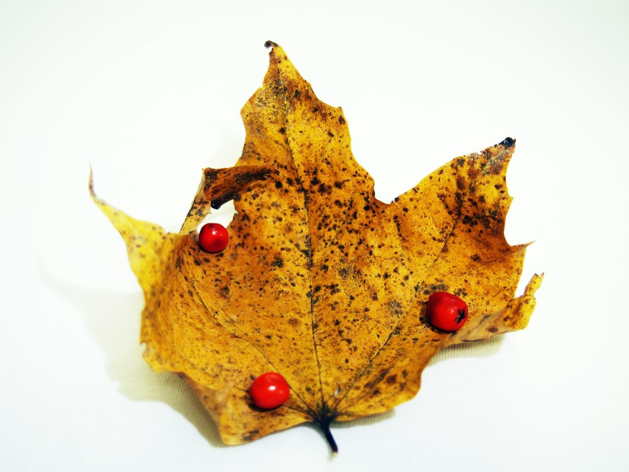 Beautiful stock photos of leaf, Autumn, Berry, Close-Up, Dry