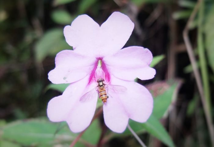 Animal Themes Beauty In Nature Bees And Flowers Bees Photography Beesofeyeem Close-up Flower Flower Head Fragility Freshness Insect Nature No People Pink Color Plant Salak Mountain
