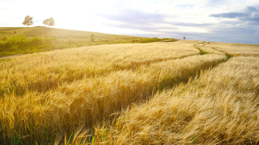 Agriculture Beauty In Nature Cereal Plant Crop  Day Field Grass Growth Landscape Nature No People Outdoors Rural Scene Scenics Sky Tranquil Scene Tree Wheat