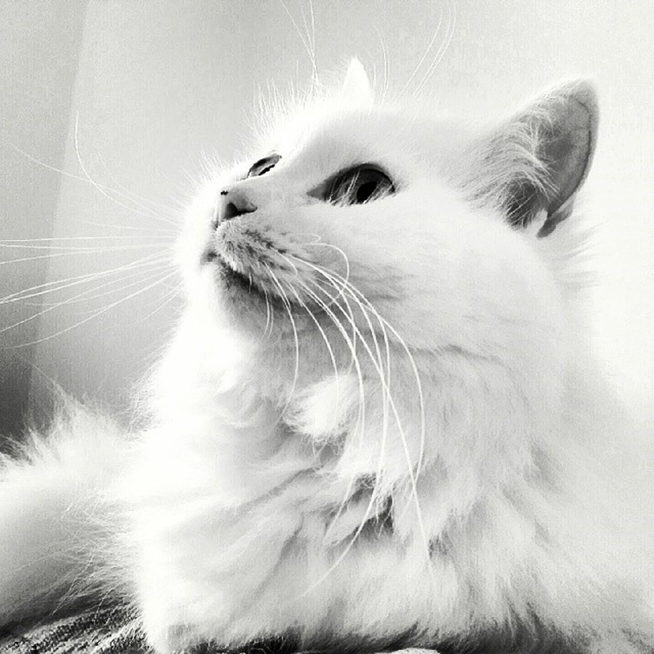 domestic cat, pets, mammal, domestic animals, one animal, whisker, animal themes, feline, animal hair, close-up, no people, indoors, day