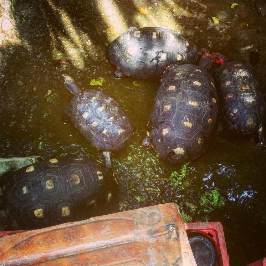 Tartaruguinhas Meuquintal Nature One Animal Close-up Reptile Animal Themes Sea Turtle Sea Life RJ Brazil