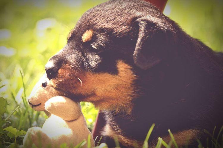 Hugoandhisrottieadventures Bcspcavictoriabranch Fosterpuppy Rottweilerpups Rottweiler Fostertoadopt Puppies Dog