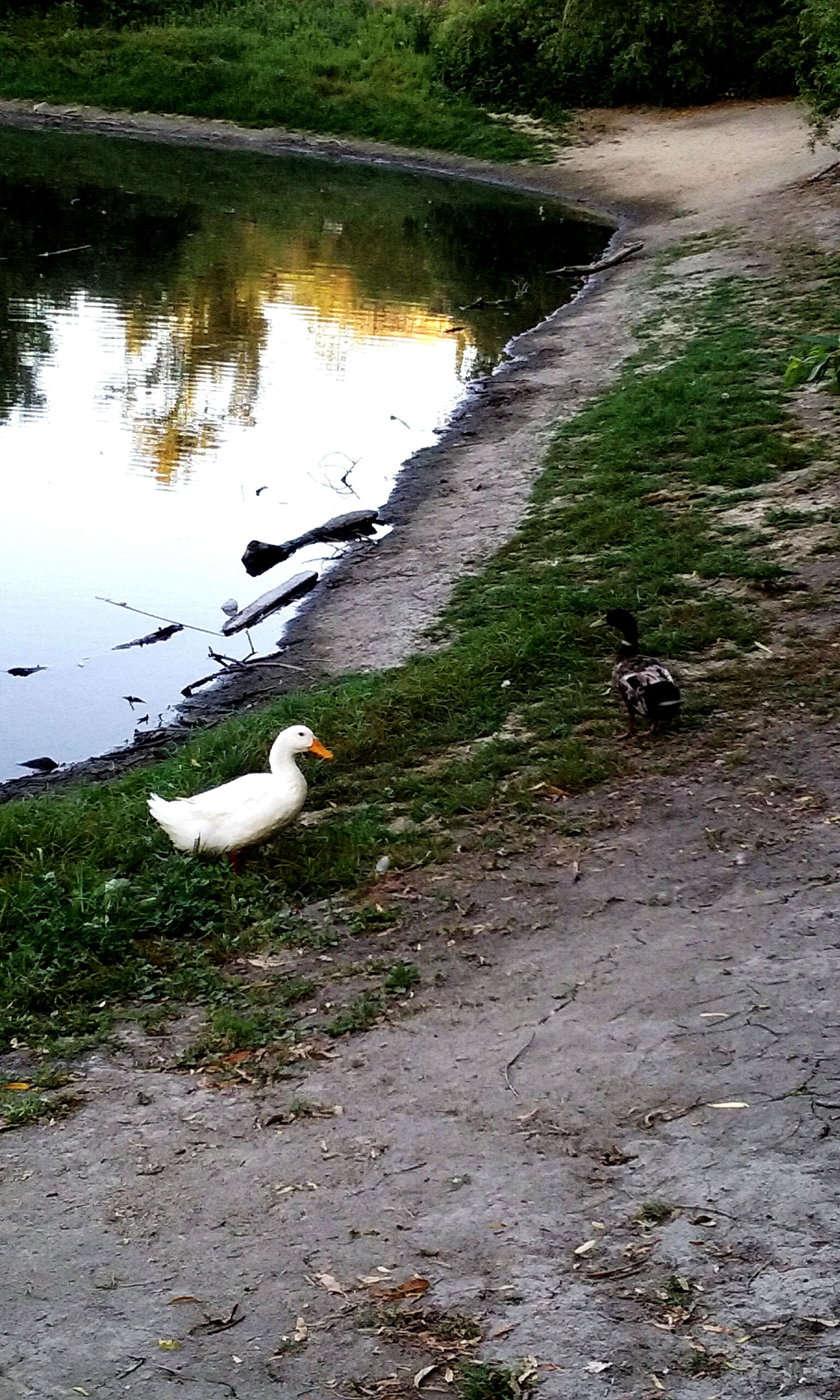 bird, animal themes, animals in the wild, wildlife, lake, water, grass, swan, duck, white color, nature, reflection, lakeshore, water bird, high angle view, day, tranquility, beauty in nature, outdoors, field