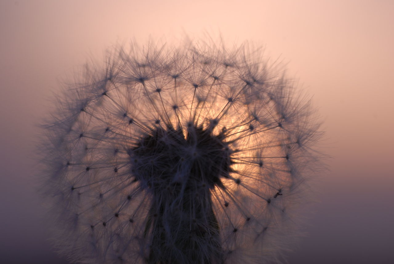 Close-Up Of Dandelion Against Sky During Sunset