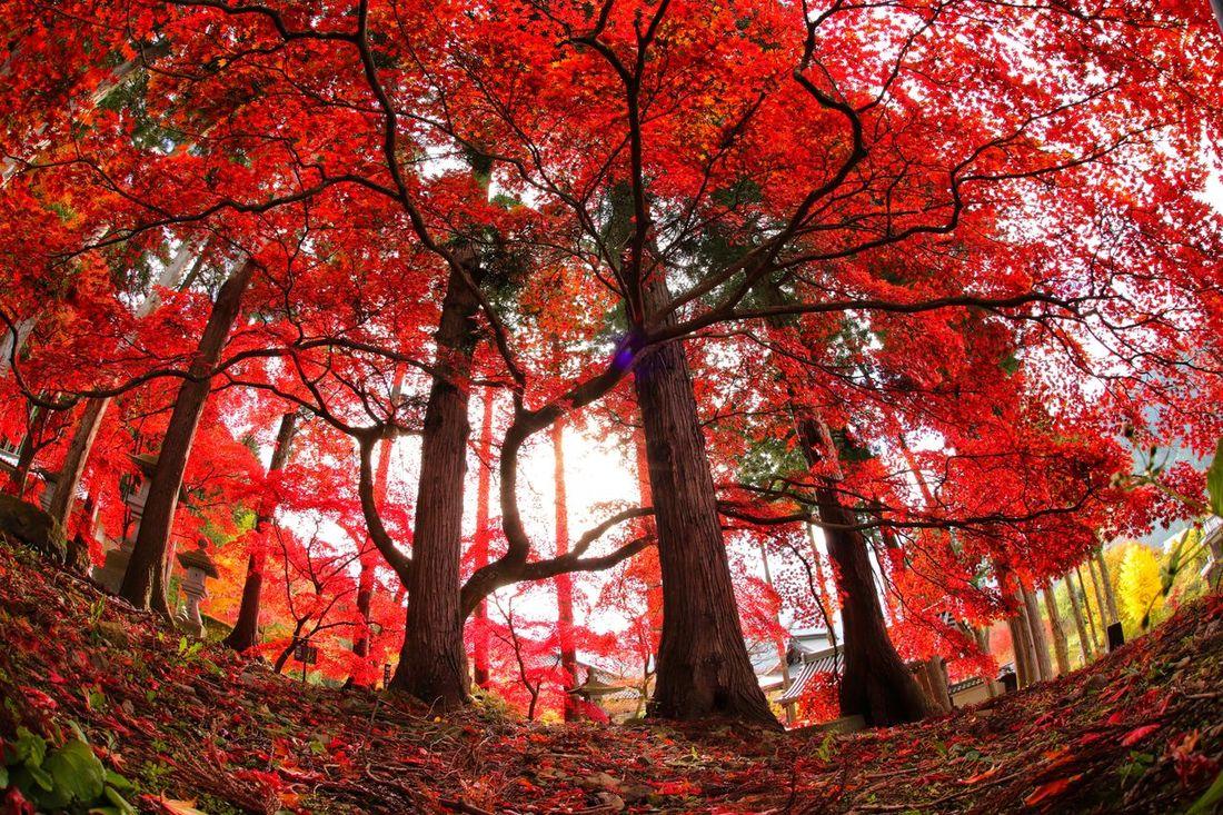 やっと紅葉が撮れたよ~🍁🍁🍁 一目惚れんず Tree Autumn Branch Nature Outdoors Red Day Leaf Growth Tree Trunk Low Angle View No People Beauty In Nature Sky Close-up 紅葉