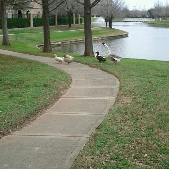This goose is crazy. He will run you down. #duckpimping