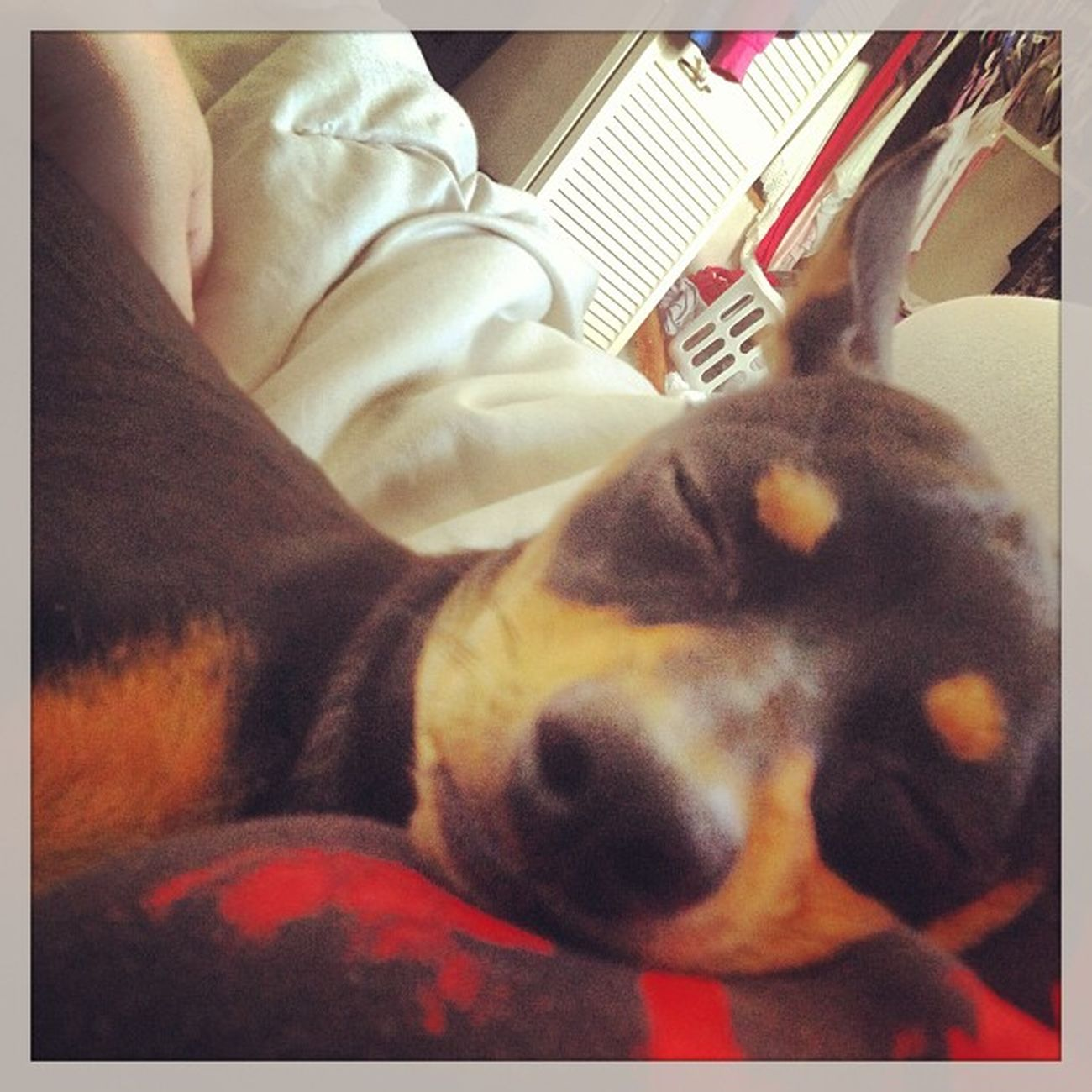 Cuddlin Cuddlemonster Cuddlebuddy Boobcuddlin squishface hunter chihuahua minpin terriermix sleepyhead mommynbaby