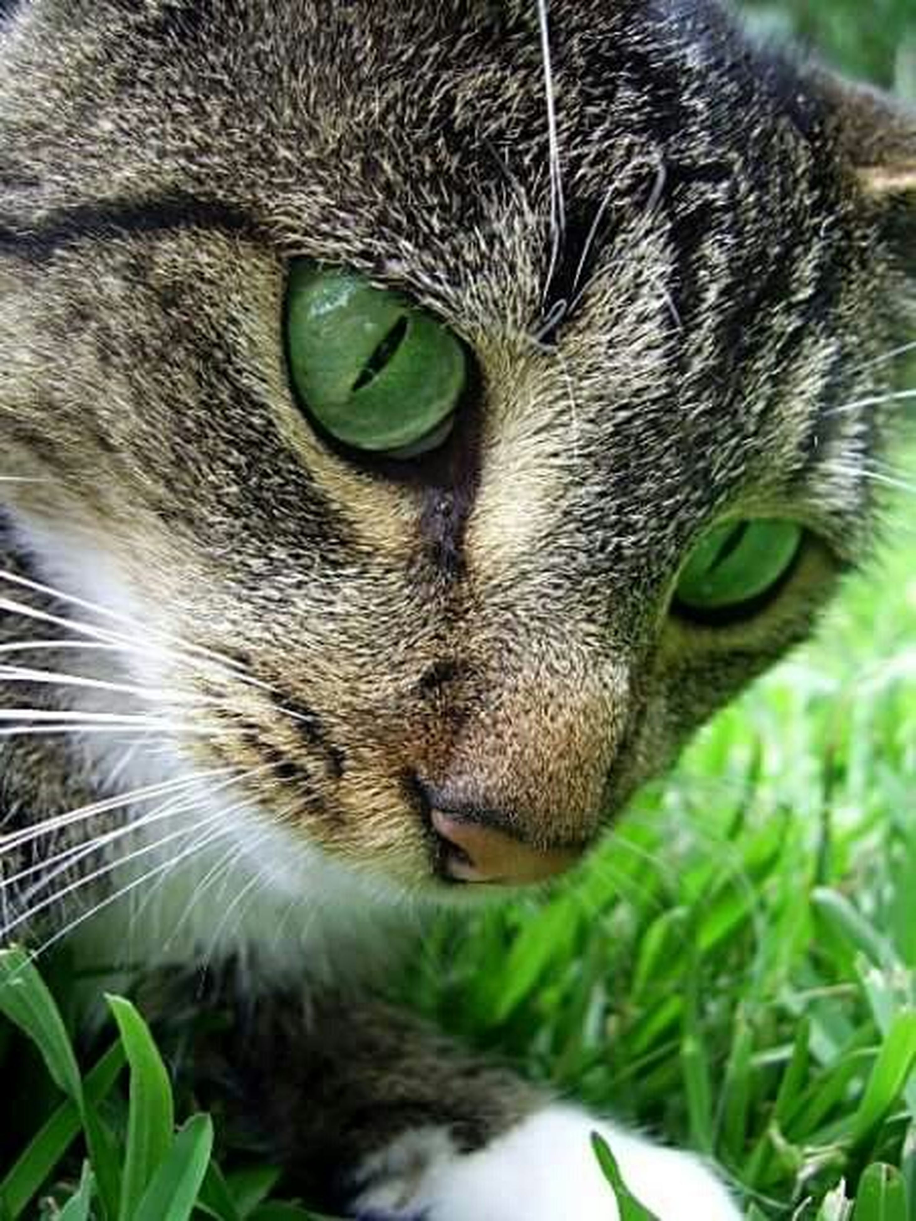one animal, animal themes, domestic cat, pets, cat, domestic animals, mammal, whisker, feline, close-up, animal head, animal eye, portrait, looking at camera, staring, animal body part, focus on foreground, alertness, selective focus