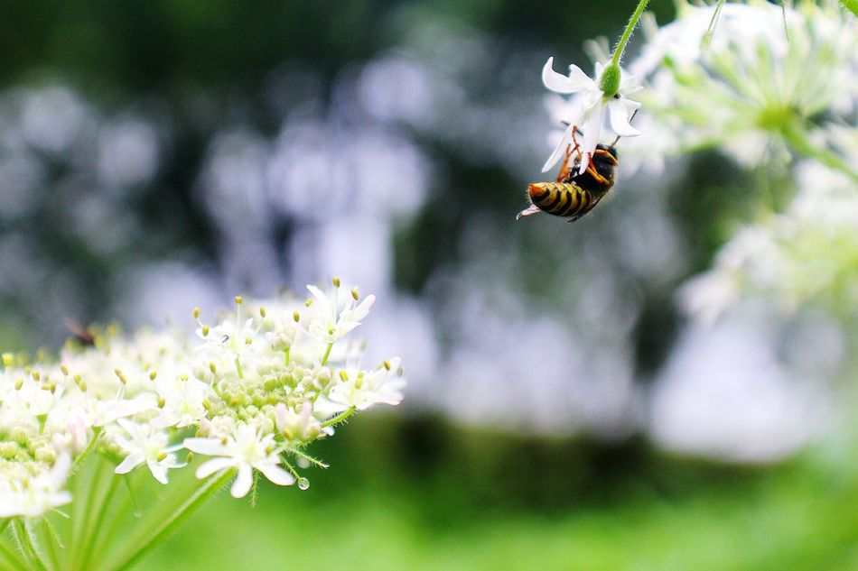 Wasp Gathering Pollen Cow Parsley Nature No rest for the wicked.