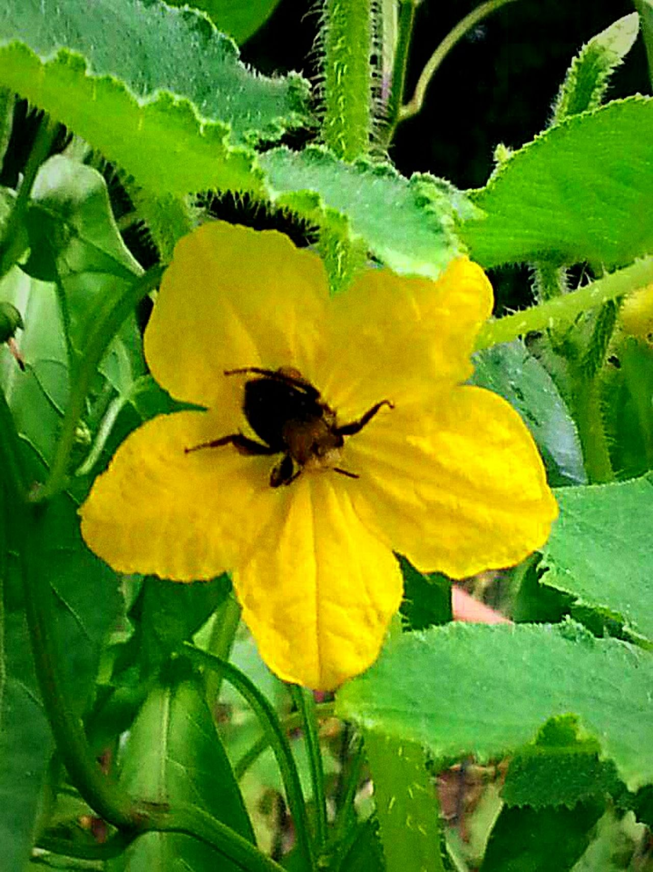 Nature's Diversities In Bloom Close-up TruthIsBeauty 💯 JustJennifer@TruthIsBeauty Bee! No People Yellow Flower Pumpkin Flower Garden Photography Insect Photography Fragility My Garden Everyone Eats Free Flower 2016 EyeEm Nature Enjoying Life Growth Beautiful Outdoors Nature TruthIsBeauty Photographic Art Green Tranquility Nature_collection