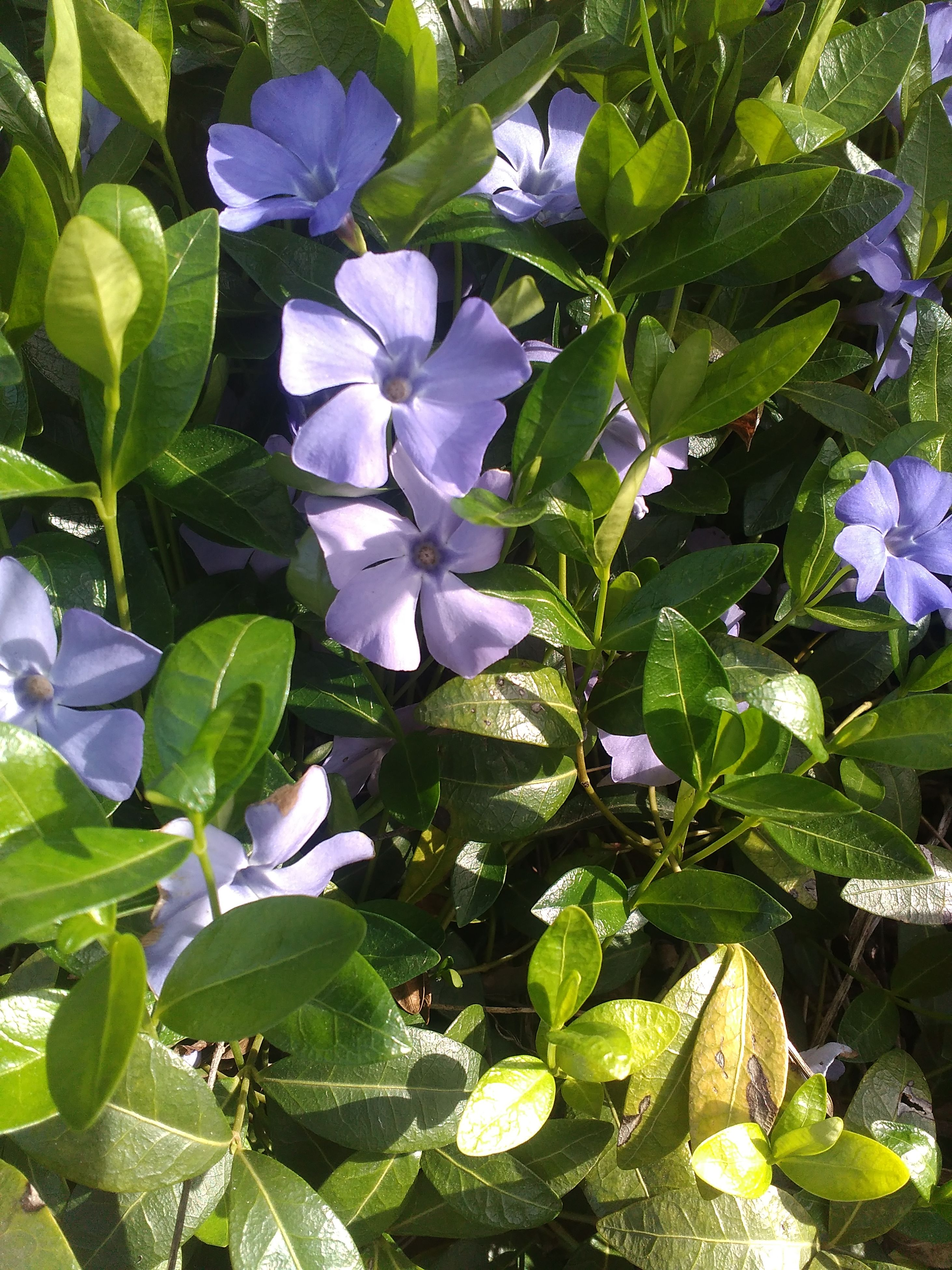 flower, leaf, growth, petal, beauty in nature, nature, fragility, plant, green color, day, freshness, no people, blooming, outdoors, flower head, close-up, periwinkle