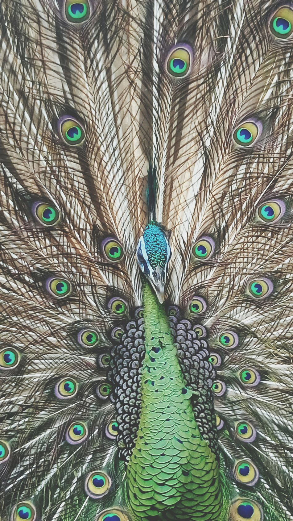 Beautiful stock photos of peacock, Avian, animal Themes, backgrounds, blue