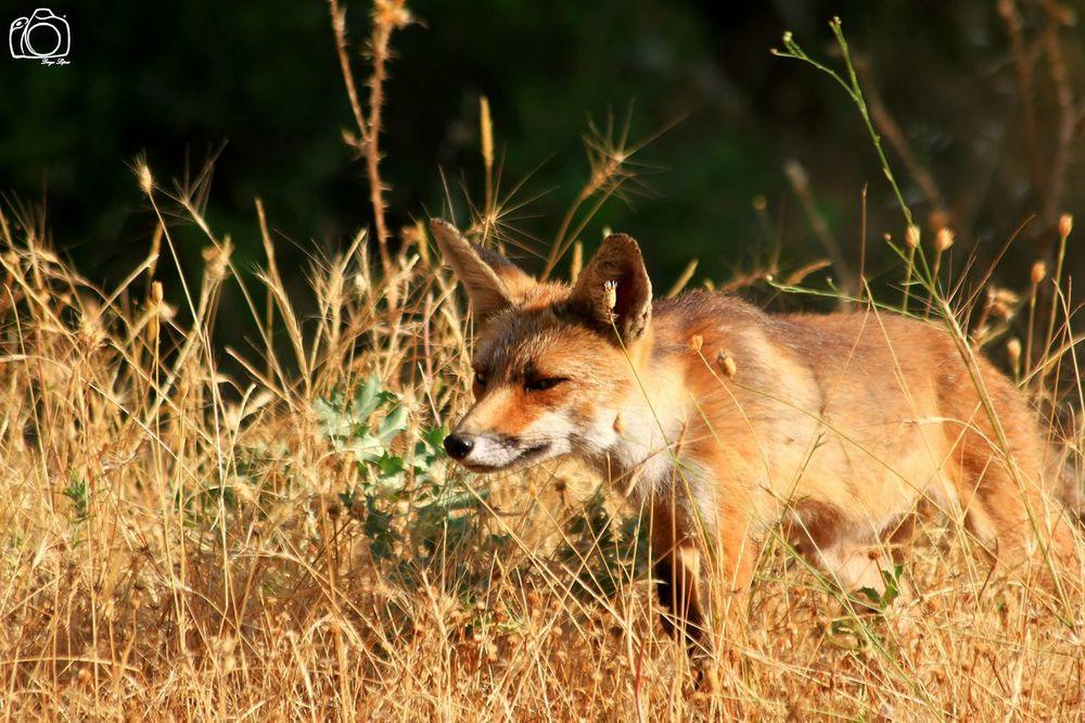 Jovencito Wildlife Nature Photography Zorro Fox Telephoto EyeEm Nature Lover SPAIN Canon Canon500d en Cazorla