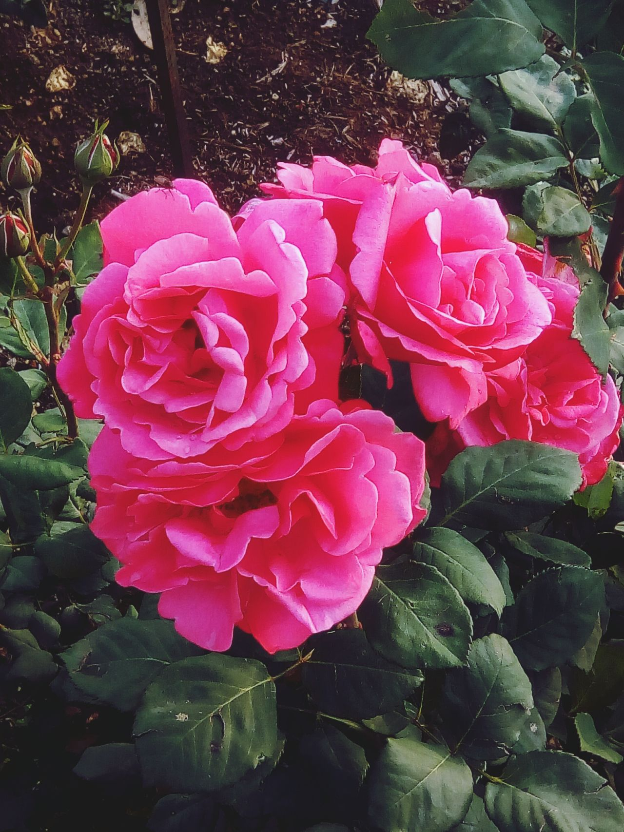 Flower Nature Petal Plant Pink Color Beauty In Nature No People Growth Flower Head Rose - Flower Outdoors Day Freshness Blooming Close-up