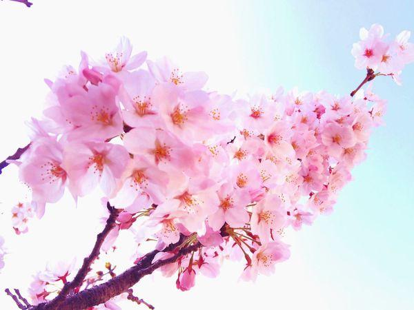 EyeEm Tokyo Meetup 8 Cherry Blossoms Spring Flowers Spring Report Nature_collection Nature Spring Sakura Flowers Flowerporn